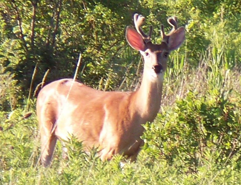 deer pics-100_0137.jpg