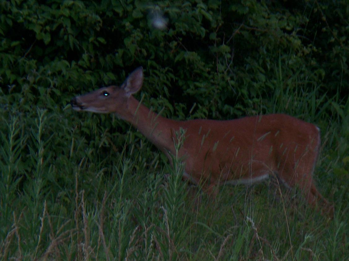 deer pics-100_0139.jpg