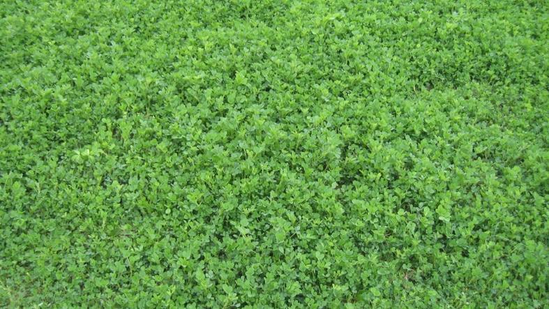 Alfalfa-alfalfa-3.jpg