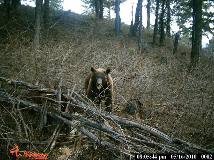 Idaho Bear Hunts for May 2011-bear2.jpg