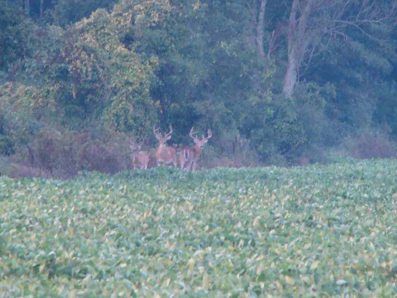 riverbottom bucks-buck-5.jpg