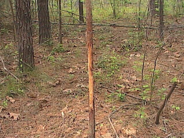 Anybody else ever see a buck rub this tall?-buck-rub-3.jpg