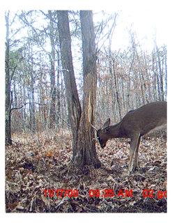 Anybody else ever see a buck rub this tall?-buck-rub-5.jpg
