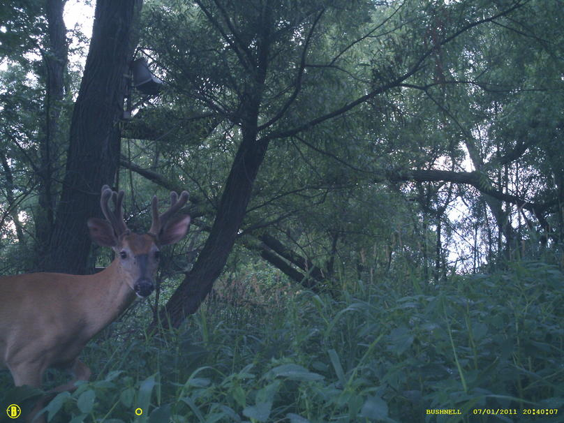 Bucks in Velvet...-bushnel-066.jpg