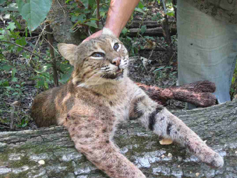 bobcat-cat-2.jpg