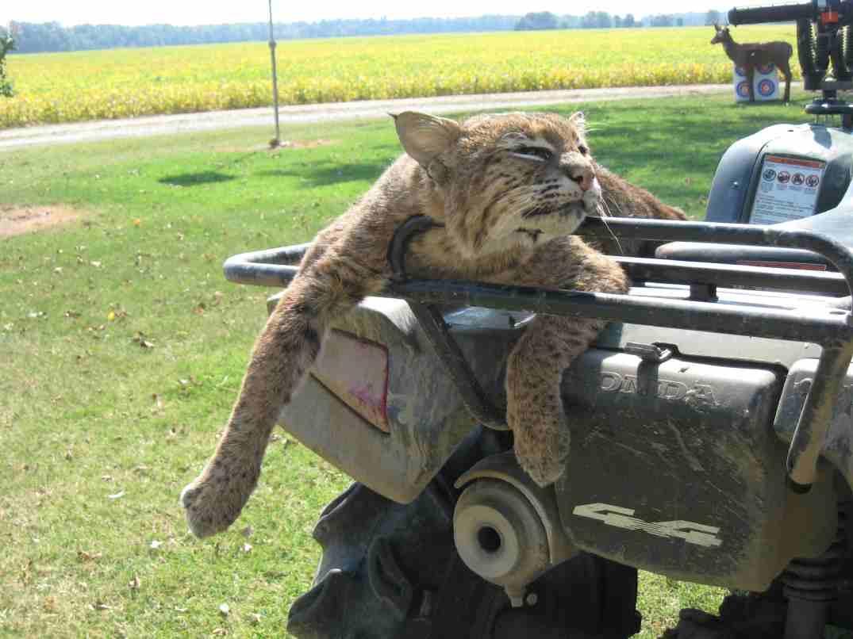 bobcat-cat-3.jpg