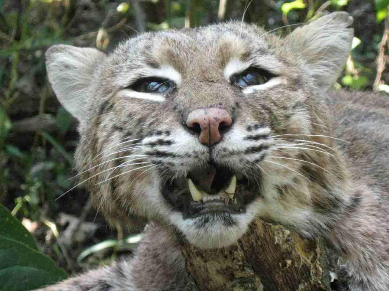 bobcat-cat-4.jpg
