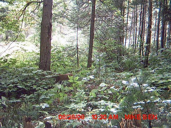 Trail cam Pics-cat1.jpg