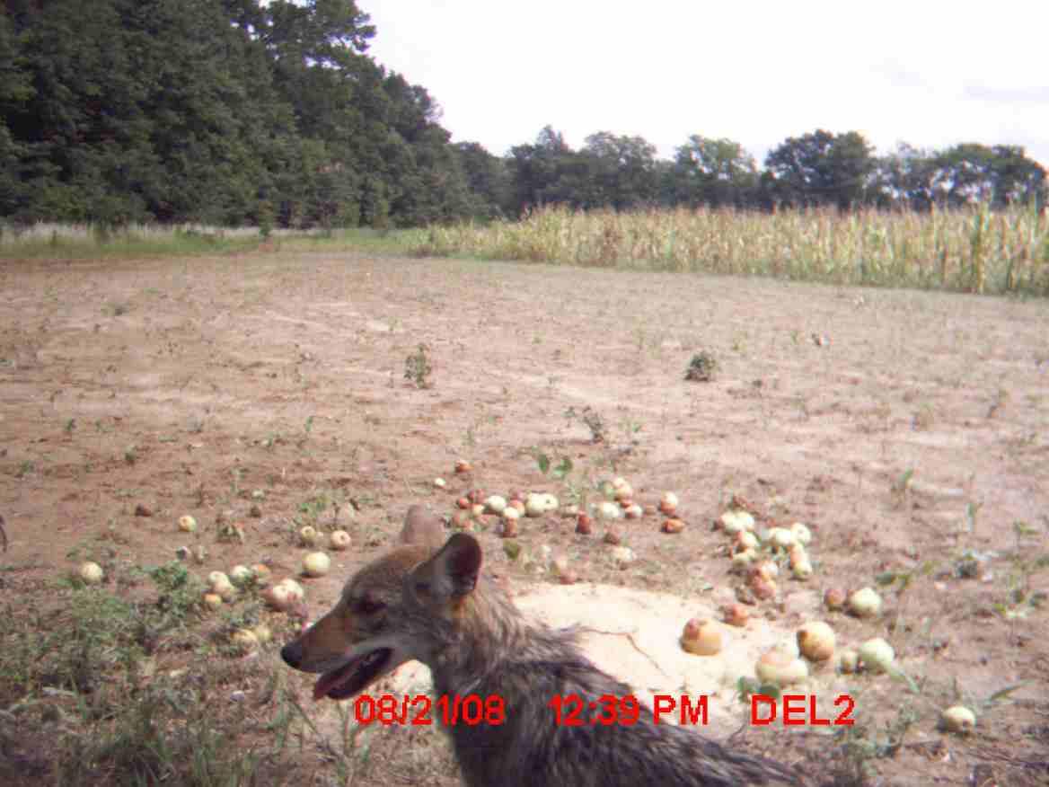 need a coyote hunt bad-coyote-1.jpg