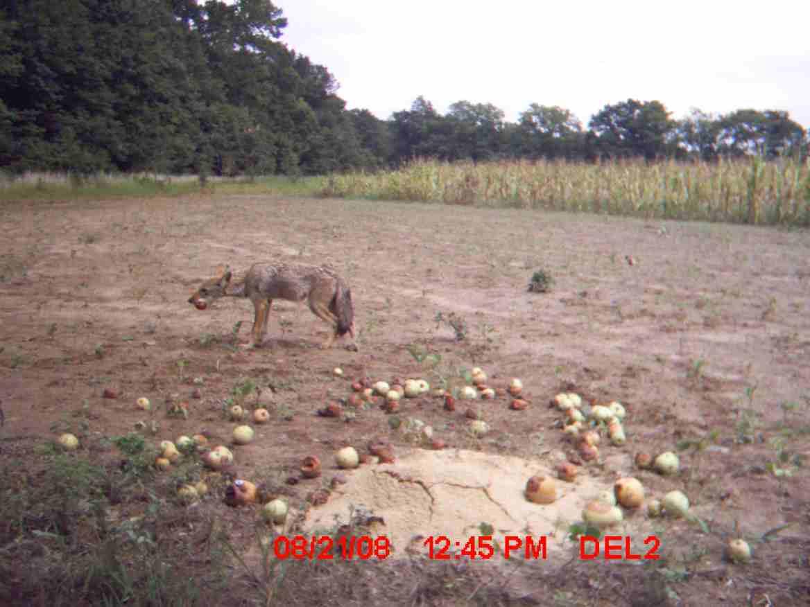 need a coyote hunt bad-coyote-2.jpg