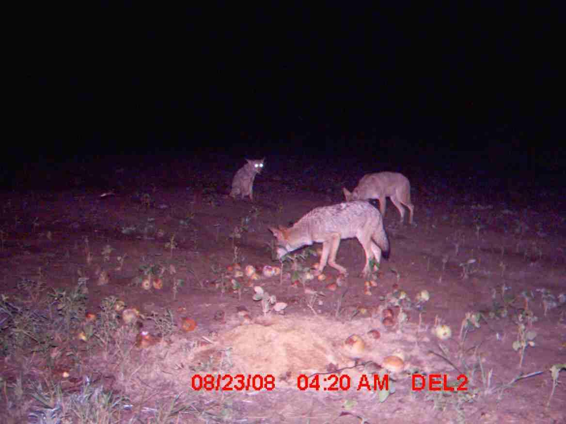 need a coyote hunt bad-coyote-3.jpg