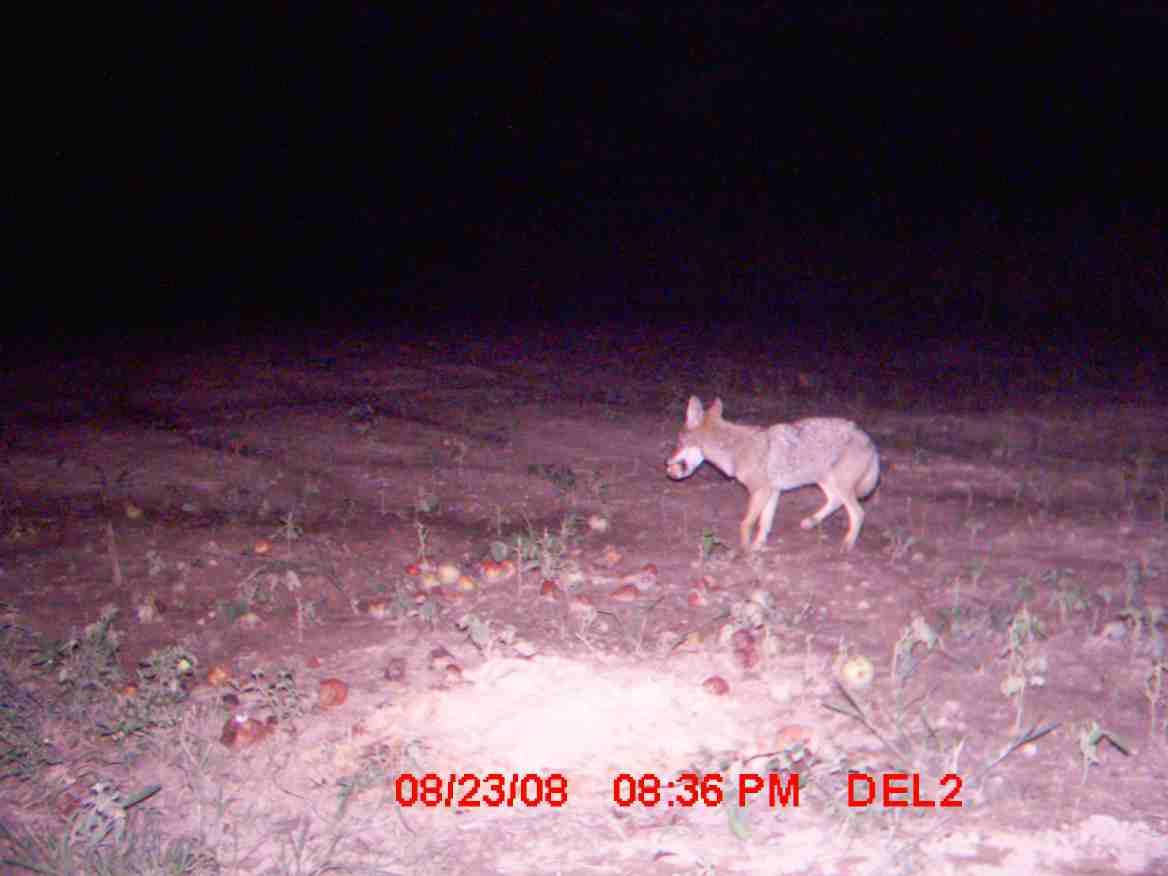 need a coyote hunt bad-coyote-4.jpg