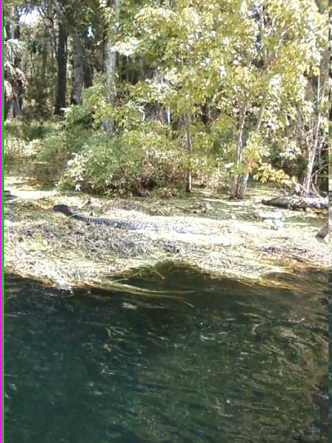 silver river trip-gator.jpg