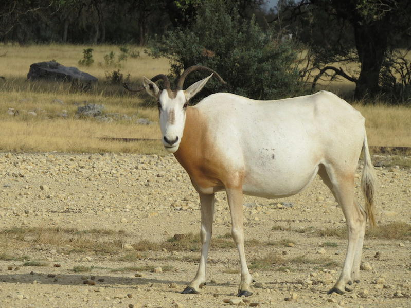 Specials on Addax, Scimitar, and Transcaspian Urial-img_0557.jpg
