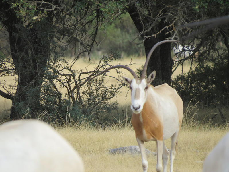 Specials on Addax, Scimitar, and Transcaspian Urial-img_0563.jpg