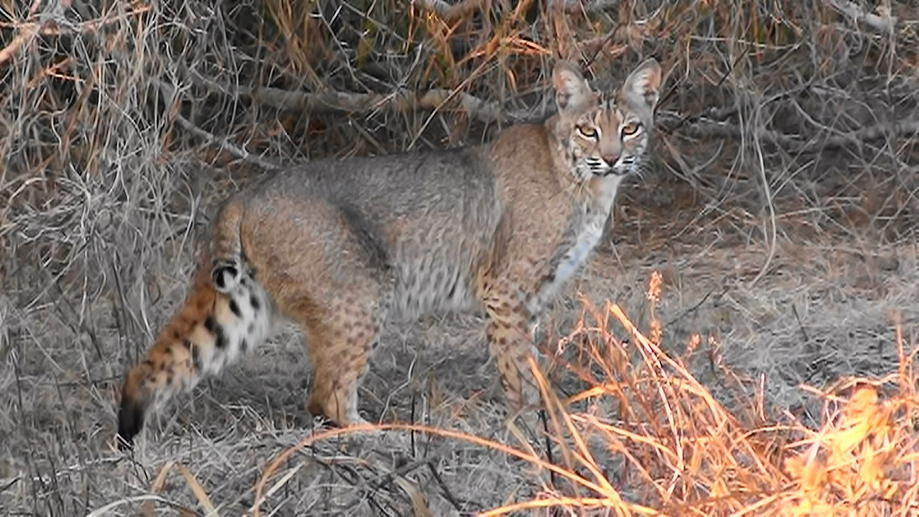 bobcat in campground-m2u00044-2-.jpg