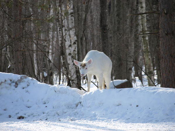 Albino deer question-p2251520.jpg