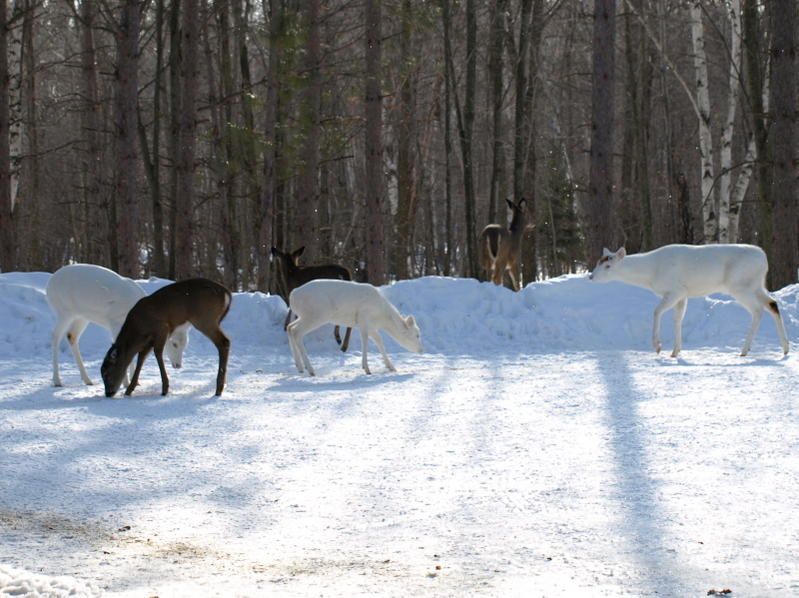 Albino deer question-p2251537.jpg