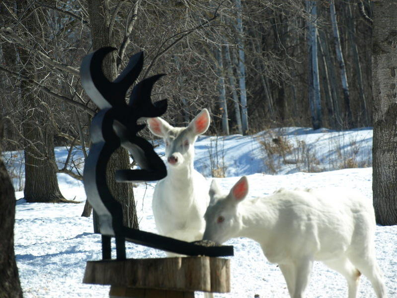 Albino deer question-p3032275.jpg