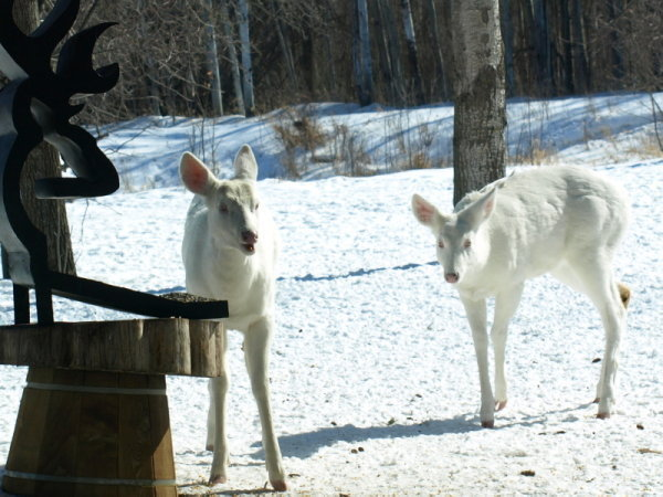 Albino deer question-p3032357.jpg