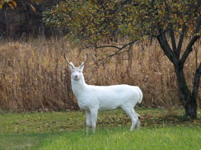 Albino deer question-pb055068.jpg