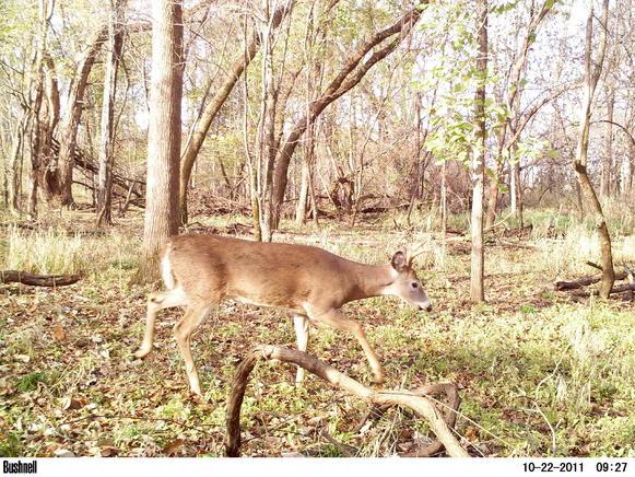 Game camera and spooking deer-pict0031.jpg