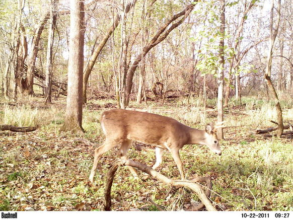 Game camera and spooking deer-pict0033.jpg