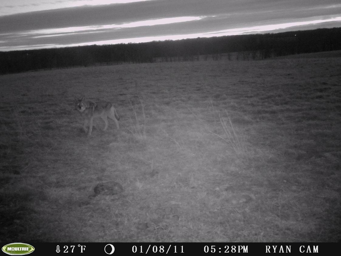 Big Coyote-pict0101.jpg