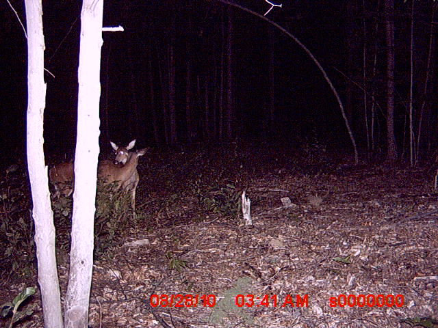 Bucks in Northwood NH-trail-cam-pics-83010-027.jpg