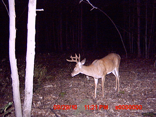 Bucks in Northwood NH-trail-cam-pics-83010-049.jpg