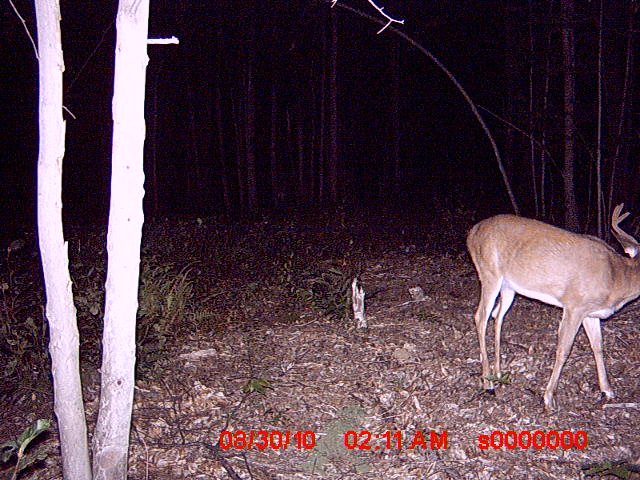 Bucks in Northwood NH-trail-cam-pics-83010-055.jpg