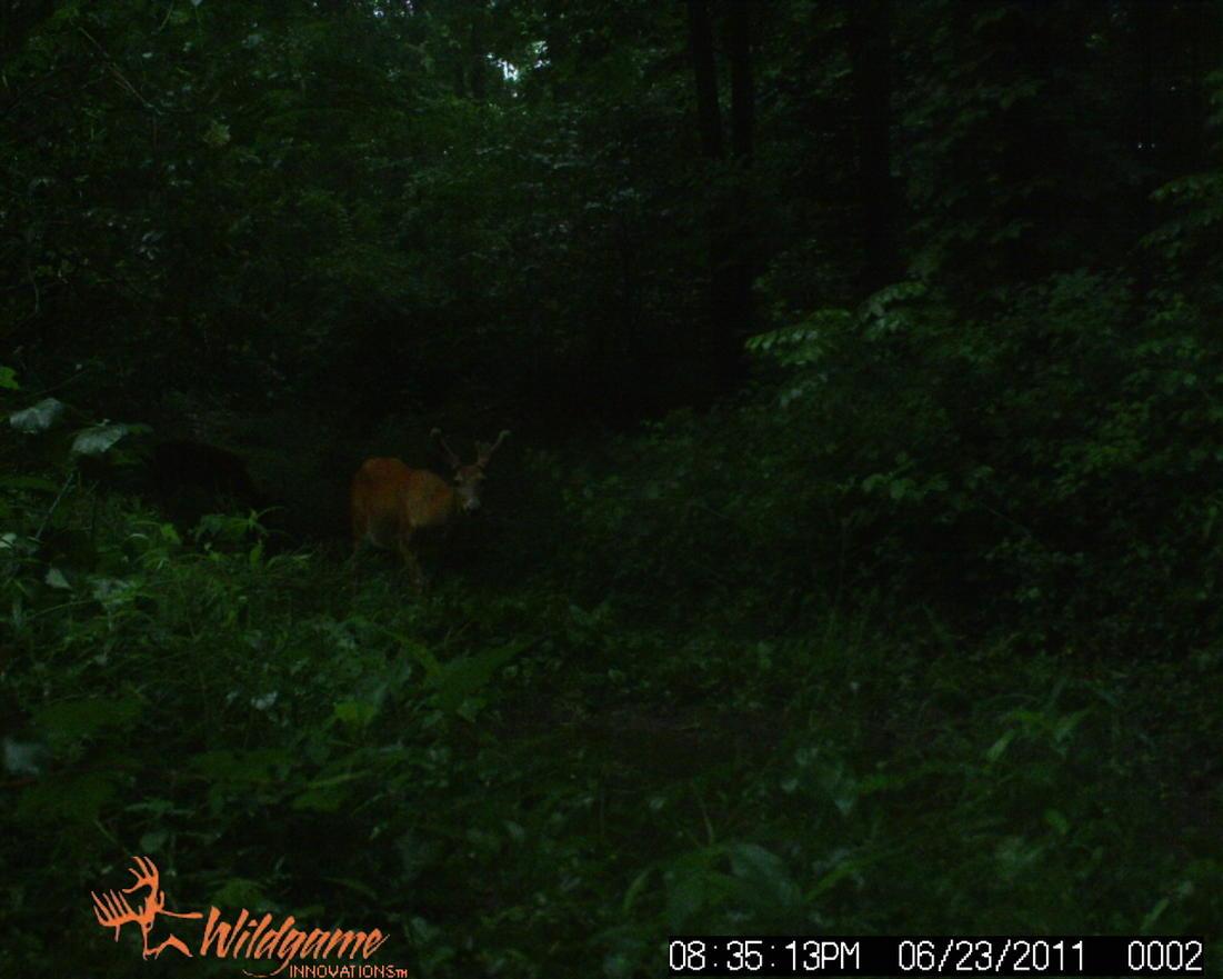 Bucks in Velvet...-wildgame-031.jpg