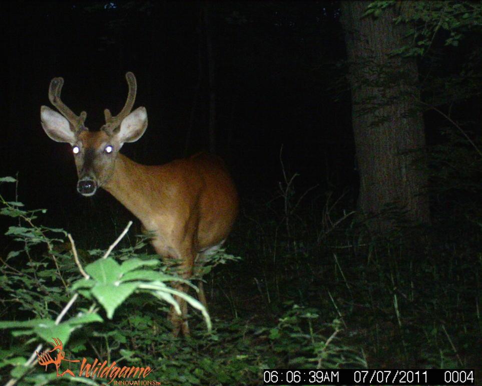 Bucks in Velvet...-wildgame-056.jpg